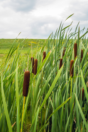 bullrush: Closeup of ripe brown colored female flower spikes of common bulrush or Typha latifolia plants growing in a marshy area in front of a Dutch embankment.