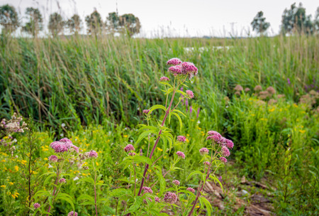 Closeup of a pale dusty pink flowering hemp-agrimony or Eupatorium cannabinum plants and otjer wild plants in the foreground of a marshy Dutch landscape on a cloudy day in the beginning of the summer season.