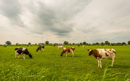 Picturesque overview of black and red spotted milk cows looking and grazing in a Dutch meadow on a cloudy day in the beginning of the summer season.