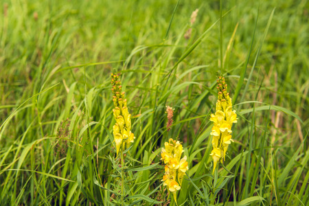 Closeup of a yellow flowering, budding and overblown  common toadflax of Linaria vulgaris plant growing between grasses and other wild plants on a sunny day in the Dutch summer season.