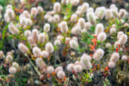 Closeup of flowering Rabbitfoot clover or Trifolium arvense in its on wild habitat on a sunny day in the Dutch summer season. Stock Photo