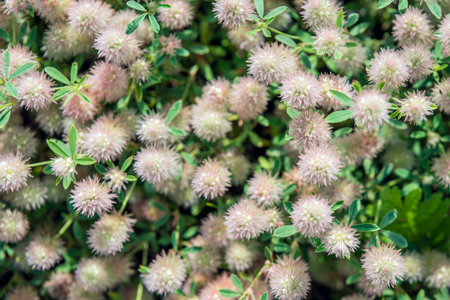 trifolium: Closeup of flowering Rabbitfoot clover or Trifolium arvense in Birds eye view on a sunny day in the Dutch summer season. Stock Photo