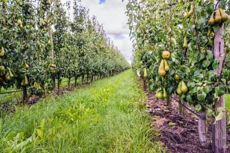 Bijna oogst rijp Conferentieperen groeien in een moderne boomgaard in Nederland. Het is net na de regen in het zomerseizoen. Stockfoto