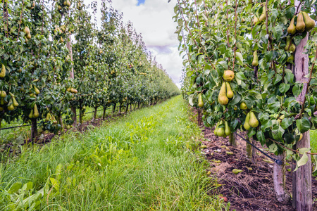 Almost harvest ripe Conference pears growing in a modern orchard in the Netherlands. It's just after the rain in the summer season.