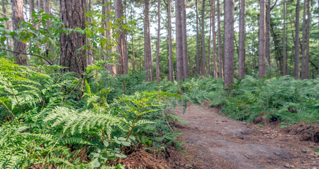 Sandy path in a Dutch forest with tall scots pine trees and green fern plants on a nice day in the summer season. Stock Photo