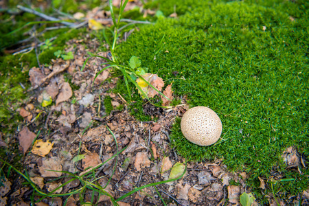 Closeup of a common earthball growing in the forest between frsh green moss 版權商用圖片