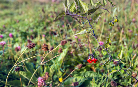 Closeup of various flowering and overblown wild plants growing on the slope of a Dutch embankment in the fall season. In the foreground the  poisenous red berries of bittersweet nightshade or Solanum dulcamara.
