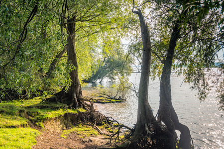 Willow trees on the banks of a Dutch river on a sunny in the beginning of the fall season.