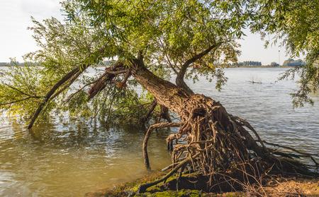 Wurzeln eines gefallenen Weidenbaums in der Bank des breiten niederländischen Flusses Waal. Es ist ein sonniger Tag zu Beginn der Herbstsaison. Lizenzfreie Bilder
