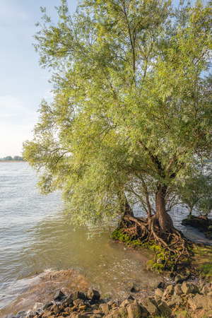 Striking roots of a willow tree at the edge of a wide river in the Netherlands. It is a sunny day in the beginning of the fall season.