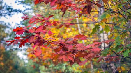 Closeup of the colorful leaves of an oak tree in the fall season. Lizenzfreie Bilder