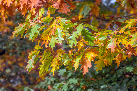 Closeup of the varied colored leaves of an oak tree on a sunny day in the beginning of the fall season.
