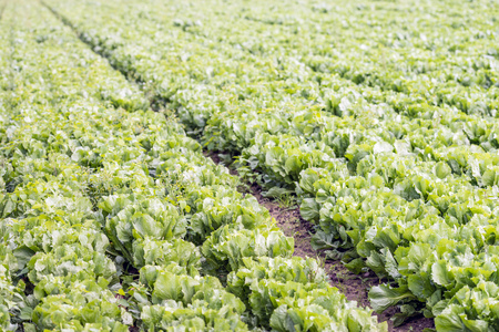 Large field with organic cultivated mature and harvest ripe Endive or Cichorium endivia plants in a field.