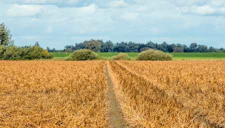 Narrow path in a field with withered and yellowed potato plants. The potatoes are ready for harvesting. It is in the beginning of the fall season.