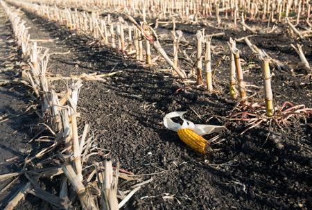 Closeup of a maize ear forgotten between long rows of maize stubbles after harvesting. It is a sunny day in the Dutch fall season. Lizenzfreie Bilder