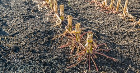 Closeup of the reddish colored roots of harvested maize plants in a field. It is in the beginning of the fall season now. Lizenzfreie Bilder
