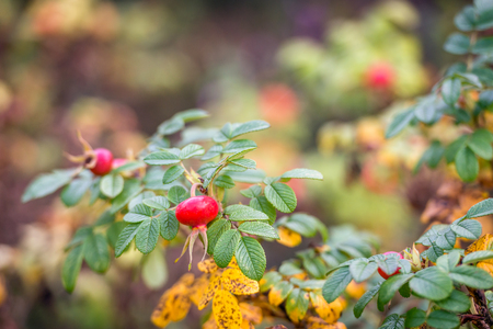 Closeup of striking red rose hips with seeds on a twig of a Rosa Rugosa shrub in the foreground.