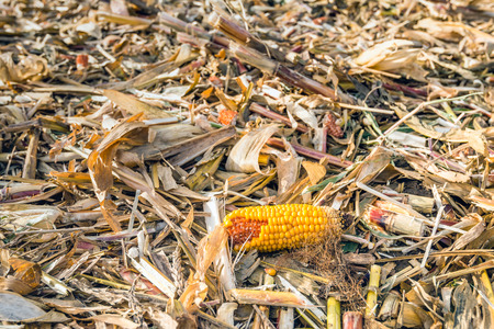 Closeup of a maize ear, leaves and stems parts after harvesting of the silage maize in a large farm field. It is autumn now. Lizenzfreie Bilder