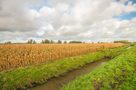 Large field with yellowed maize plants next to a narrow ditch. It is a cloudy day in the fall season.