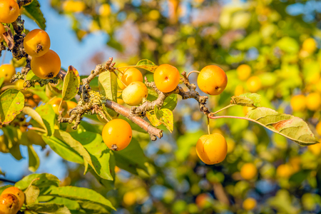 Branch with many ripe yellow crab apples on a sunny day in the fall season. Lizenzfreie Bilder
