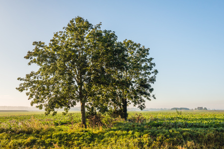 Two trees in low  early morning sunlight. The trees are growing in an agricultural landscape. It is autumn now.