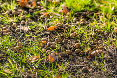 Fallen brown leaves and acorns between the fresh green grass in the early morning sunlight. Its is autumn now.