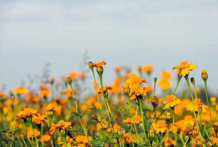 Closeup of orange colored flowering marigold plants against a blue sky on a sunny day in the autumn season. Lizenzfreie Bilder