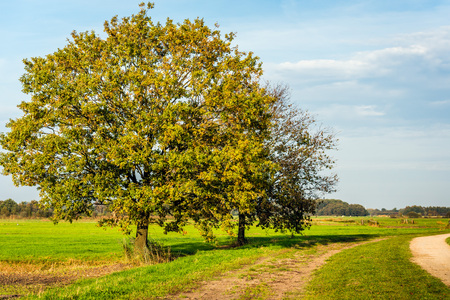 Two tall trees in a Dutch rural landscape. The colors are changing beacause it is autumn.