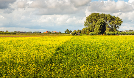 Picturesque Dutch landscape with a field of yellow blooming rapeseed in the foreground and farms and barns in the background. It is a cloudy day in the end of the summer season.