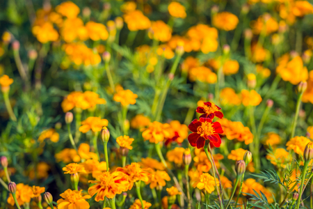 One different colored Tagetes stands out from the crowd on a sunny day in the fall season.
