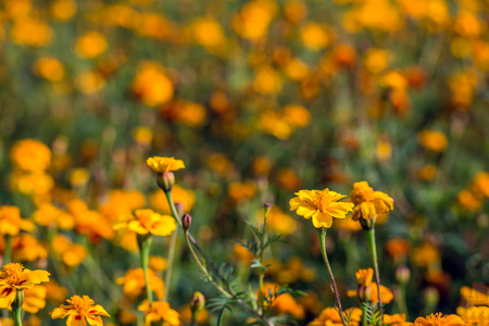Closeup of flowers and buds of marigold plants on a sunny day in the summer season. Lizenzfreie Bilder