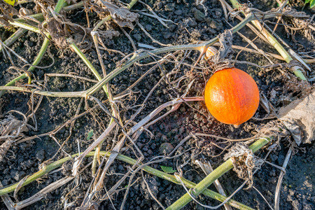 Birds eye view of an orange colored pumpkin between withered stems and leaves on the soil.