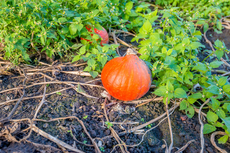 Small orange colored pumpkins left behind on the field during the harvest. Fresh green weeds growing among the withered stalks and leaves of the pumpkin plant. Lizenzfreie Bilder