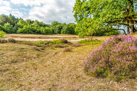 Pink flowering heath in the foreground of a Dutch nature reserve on a cloudy day at the end of the summer season.
