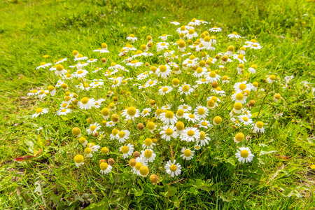 Closeup of white and yellow blooming and overblown chamomile or Matricaria chamomilla plants growing in the wild nature on a sunny day in the summer season.