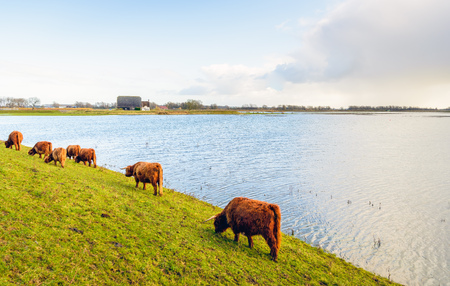 Highland cattle grazing on the slope of the embankment of a flooded Dutch polder.