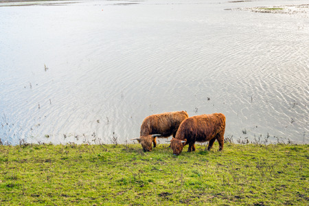 Two Highland cattle grazing on the slope of an embankment on the edge of a flooded polder in the Netherlands.