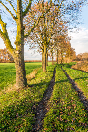 Winding dirt path with two vehicle traces between a row of partially bare trees and on the other hand yellowed reed plants. It is autumn in the Netherlands.