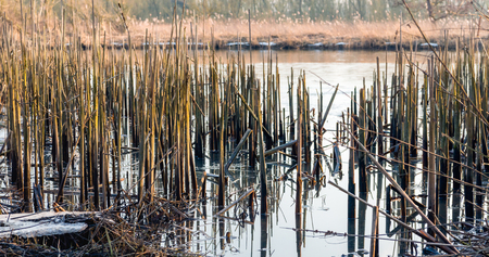 Reed stalks broken down on the edge of a creek in the Brabantse Biesbosch in the winter season.