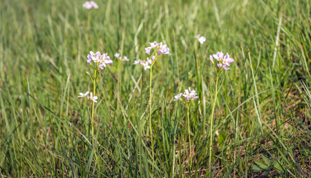 Closeup of fragile pink blooming Cuckooflowers or Cardamine pratensis plants between fresh green grass in springtime.