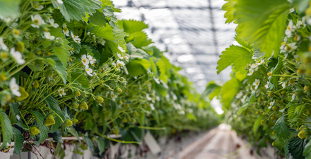 Strawberry plants growing on substrate in a large Dutch greenhouse.