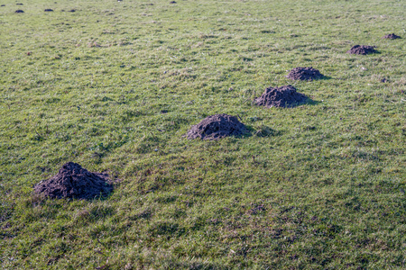 Grassland with a series of molehills in a straight line behind each other. It is a sunny day at the end of the winter season.