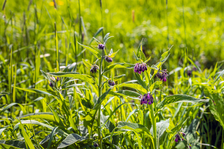 Purple flowers of a common comfrey plant. Comfrey is used in folk medicine as an alternative medicine for various diseases. However internal consumption is not recommended nowadays. Stock Photo