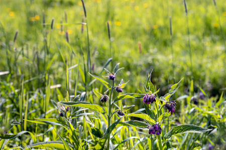 Purple blooming of a common comfrey plant. Comfrey is used in folk medicine as an alternative medicine for various diseases. However internal consumption is not recommended nowadays.