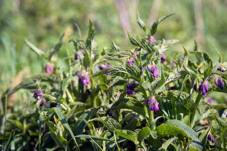 Purple flowering common comfrey plant in its own natural habitat