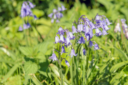 Closeup of blooming Common Bluebell or Hyacinthoides non-scripta plants growing in the wild . It is a sunny day in the Dutch springtime season.
