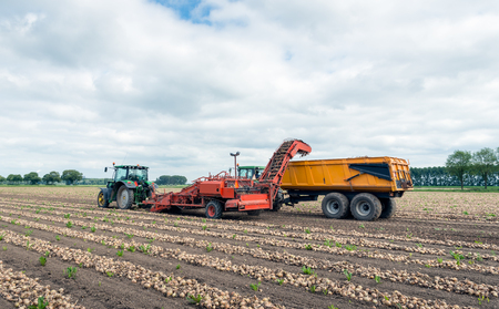 With a potato harvester pulled by a tractor, the rows with onions dried on the field are picked up and transported to the accompanying tipping trailer.
