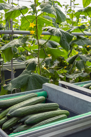 Closeup of harvested ripe cucumbers in a trolley in front of climbing cucumber plants with yellow colored blossoms in the heated glasshouse of a specialized Dutch grower. Standard-Bild
