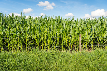 Fodder maize plants growing behind a fence with barbed wire in the Netherlands. It is a sunny day in the summer season.