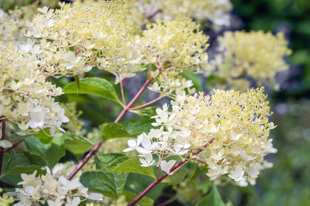 Closeup of a creamy white flowering Hydrangea paniculata in the summer season. The new branches and twigs are reddish and purple.